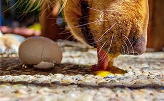Dog licking raw egg on ground