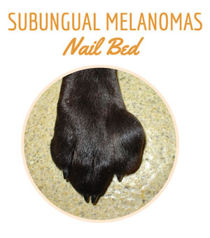 Dog paw with Subungual (Nail Bed) Melanoma