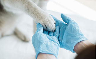 Dog paw in vet's hand with glove