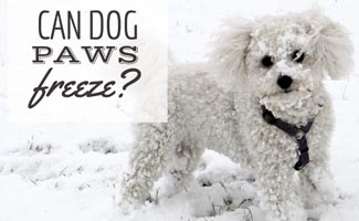 White poodle in snow (caption: Can Dog Paws Freeze?)