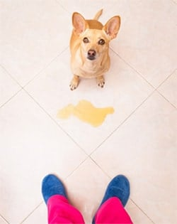 Dog next to pee on tile floor and person's feet