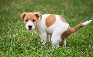 Dog with diarrhea in grass