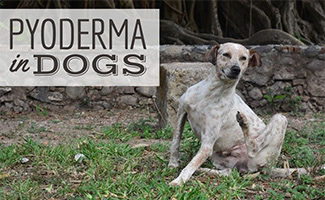 Dog scratching in grass (caption: Pyoderma In Dogs)