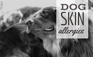 Dog itching ear (caption: Dog Skin Allergies)