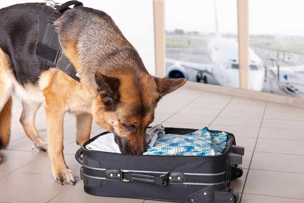 Dog sniffing bag at airport