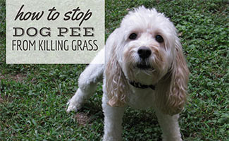 Dog squatting to pee in dead grass (caption: How To Stop Dog Pee From Killing Grass)