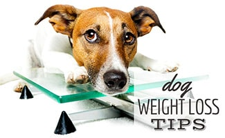 Dog sitting on scale (caption: Dog Weight Loss Tips)