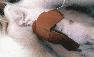 Dog with Cryptorchidism post-operation