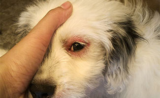 Dog with red eye