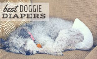 Dog sleeping with diaper on sofa:Best Doggie Diapers