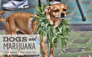 Dogs with Marijuana around neck: Dogs and Marijuana