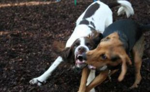 2 dogs fighting: Why Do Dogs Growl When Playing?