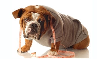 Bulldog with Measuring Tape
