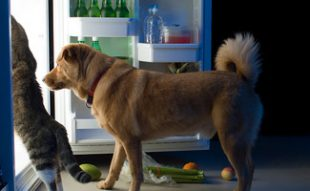 Dog Eating in Fridge