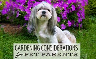 A grey and white shih tzu sits on green grass in front of a bright pink flowering shrub. (Caption: Gardening Considerations For Pet Parents)