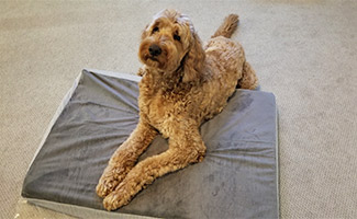 Gary the Goldendoodle on top of BarkBox dog bed