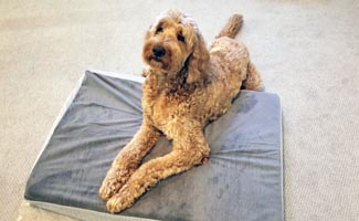 Gary The Goldendoodle laying on dog bed