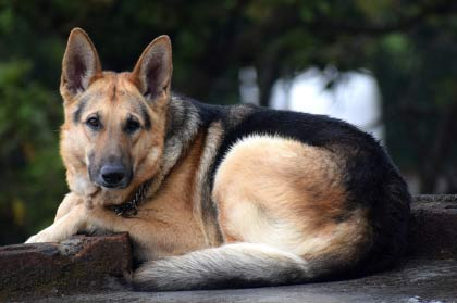 German Shepherd Is It A Great Family Dog Caninejournal Com