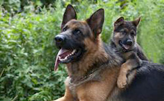 Best Guard Dogs For Families Caninejournal Com