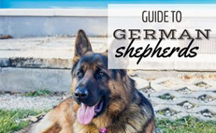 German Shepherd laying on ground (caption: Guide to German Shepherds)