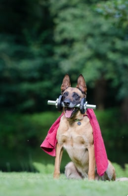 German Shepherd with cape on and training weight