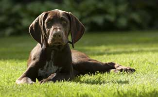 German Shorthaired Pointer laying in grass