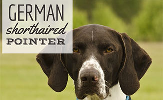 German Shorthaired Pointer head (caption: German Shorthaired Pointer)