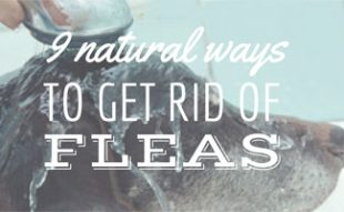 Dog bathing (caption: 9 natural ways to get rid of fleas)