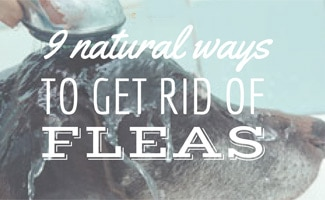 Fabulous How To Get Rid Of Fleas Treatments Tips To Prevent Camellatalisay Diy Chair Ideas Camellatalisaycom