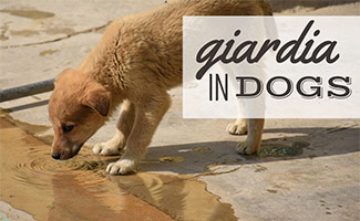 Puppy drinking water from ground (caption: Giardia In Dogs)