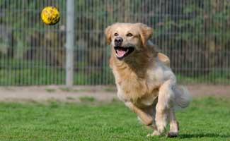 Golden retriever fetching tennis ball