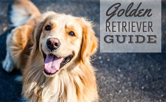 Golden Retriever guide