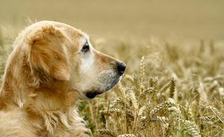 golden retriever in field with wheat