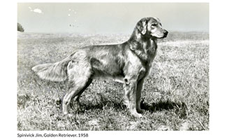Golden Retriever black and white image from AKC