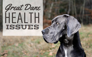 8 Great Dane Health Issues You Should Be Aware Of | CanineJournal com