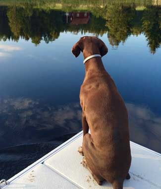 German Shorthaired Pointer on lake dock