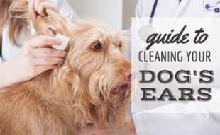 Guide to Cleaning Your Dogs Ears