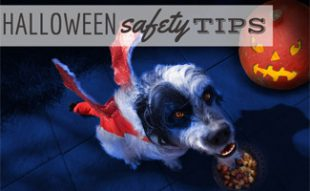 Dog in halloween costume: Halloween Safety Tips for Pets