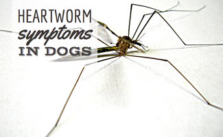 Mosquito bites could lead to heartworm symptoms in dogs