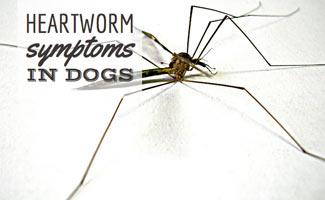 Mosquito heartworm bite