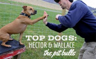 Hector and Wallace: Pit Bulls Rescued From Michael Vick And Euthanasia