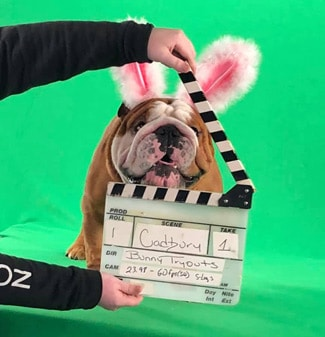 Henri The English Bulldog Filming The Cadbury TV Commercial
