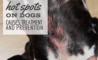 Dog with hot spots (caption: Hot Spots On Dogs Causes, Treatment & Prevention)