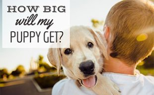 Man holding Golden puppy in arms (caption: How Big Will My Puppy Be)