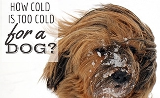 How Cold Is Too Cold For A Dog?