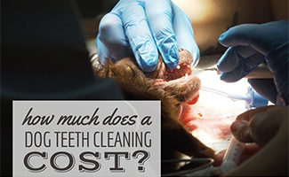 Dog having teeth cleaned by vet (caption: How Much Does A Dog Teeth Cleaning Cost?)