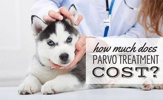 Husky puppy being held by vet (caption: How Much Does Parvo Treatment Cost?)