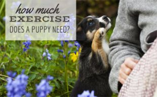 Puppy playing with owner: How Much Exercise Does a Puppy Need?