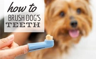 Person holding toothbrush in front of dog (caption: How to brush your dog's teeth)