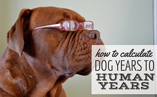 Dog with eye glasses (caption: How To Calculate Dog Years To Human Years)